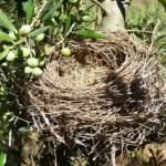 メジロの雛の巣立ちについて