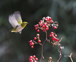 メジロ 生態 飼育 野鳥 方法