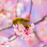 美しい鳴き声を持つ鳥・メジロ