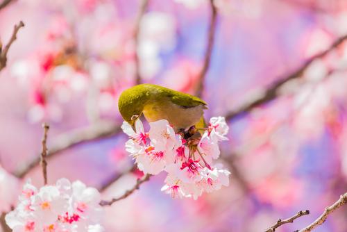 メジロ 鳴き声 鳥