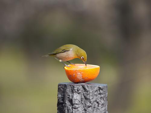 メジロ 鳥 生態 飼育