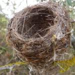 メジロが一度使った巣!再利用するの?