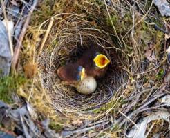 メジロ 巣 卵