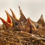 メジロの雛の鳴き声について