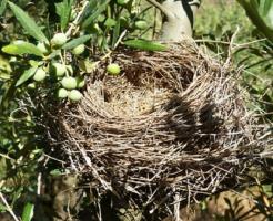 メジロ 雛 巣立ち