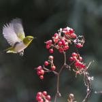 生態を守るために!飼育されていないメジロなどの野鳥と出会う方法