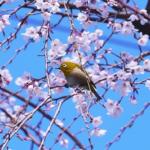 桜の蜜を食べるメジロ