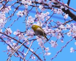 メジロ 桜 蜜 食べる