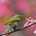 メジロと梅、季節を告げる鳥!?
