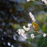 メジロは花が大好き。梅の花や、花の蜜を好むって本当?