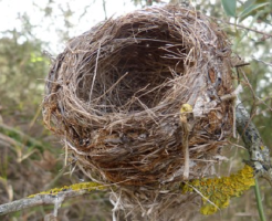 メジロ 巣 再利用